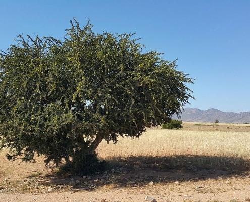 Argania spinosa - huile d'argan