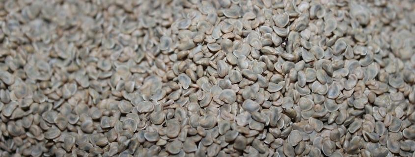Graines de Figue de Barbarie - huile de figue de barbarie