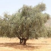 arbre source argan