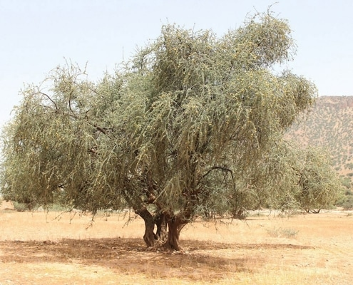 arbre source argan