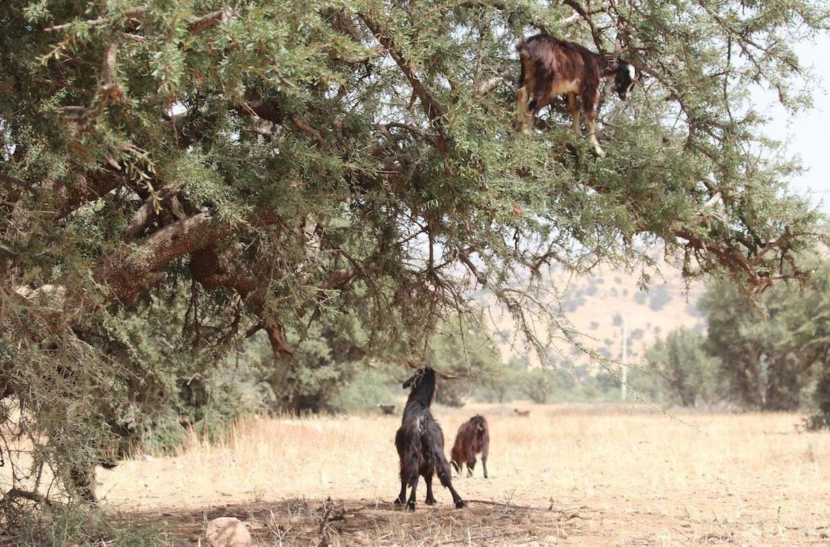 Chèvres mangeant les fruits de l'arganier