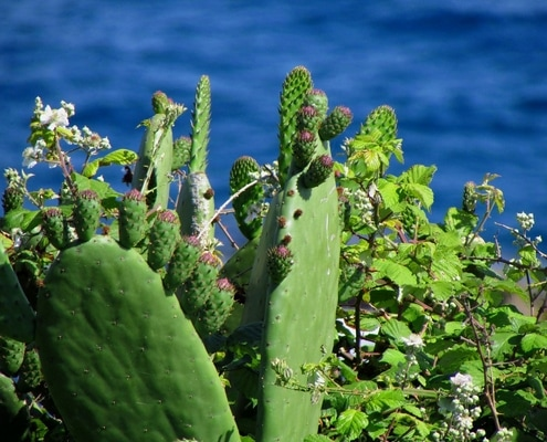 cactus ou figuier de barbarie