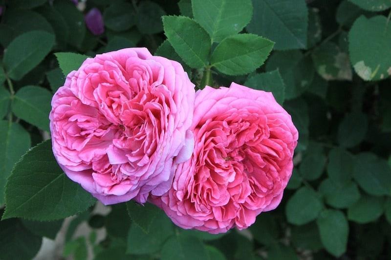 eau de rose routine hammam soin beaute du Maroc