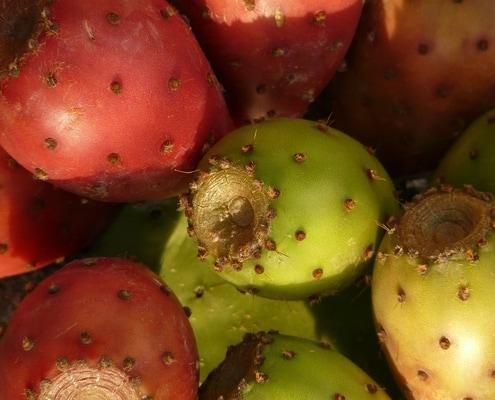 figues de barbarie collectées pour produire huile de figue de barbarie