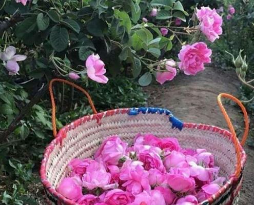 cueillette roses de Damas