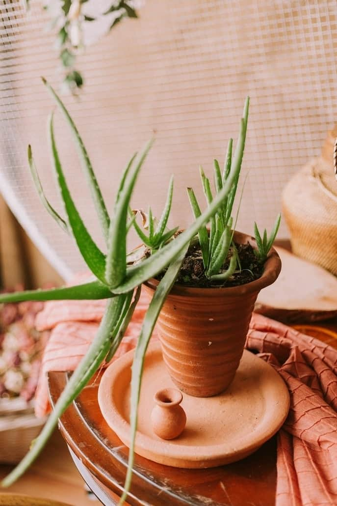 aloe-vera-plante-bienfaits-visage-cheveux