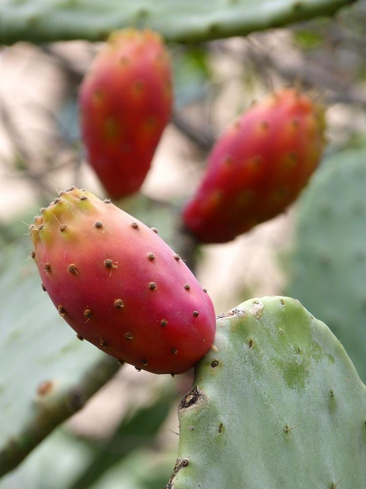 Bienfaits huile de pépins de figue de barbarie