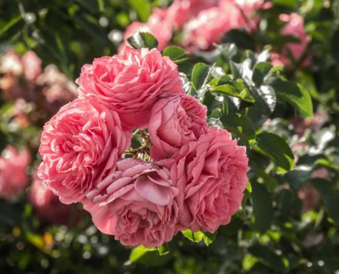 Les bienfaits de l'hydrolat de rose
