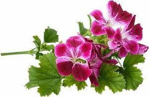 géranium rosat bio