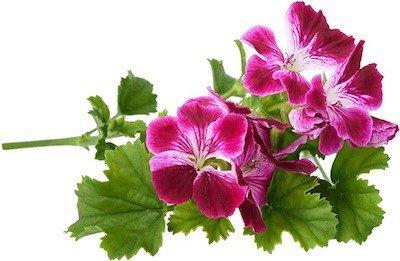 géranium rosat bio-masque cheveux bio